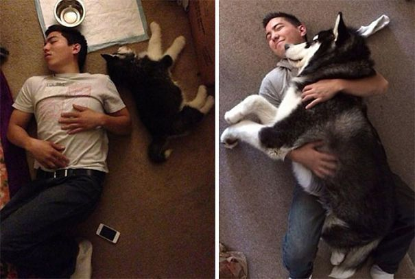 People Are Posting Pics That Show Alaskan Malamutes Are Massive Floofs (62 Pics)