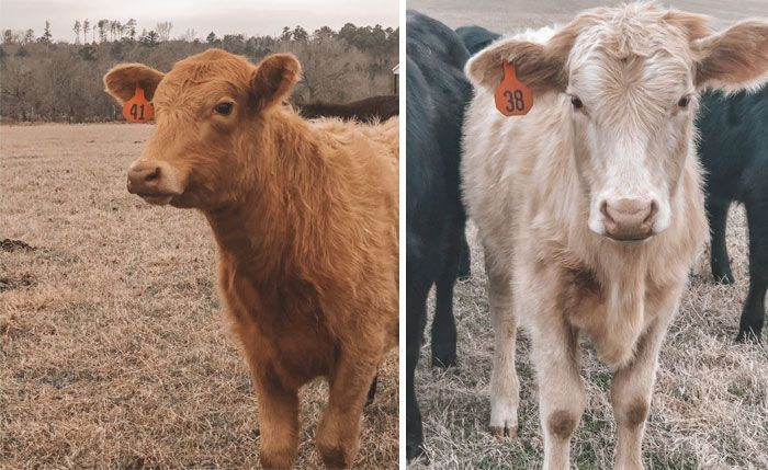 There's A Twitter Account That Posts Cow Pics Every Day Just To Make People Smile (97 Pics)