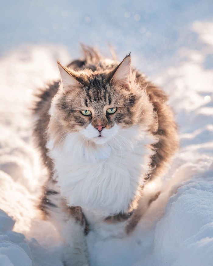 Meet Pepper, The Majestic Norwegian Forest Cat That Loves To Frolic In Norwegian Forests (32 Pics)