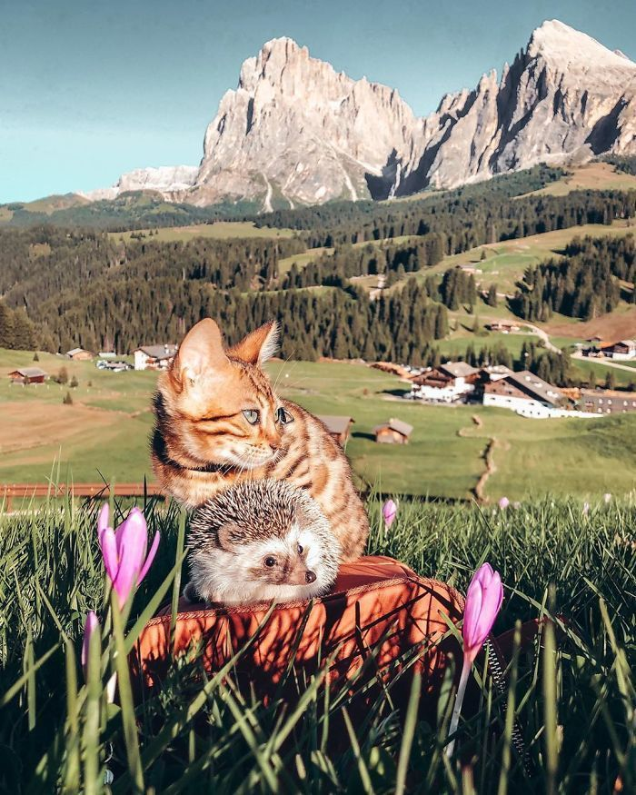 People Are Loving The Adventures Of This Hedgehog And Its Bengal Best Friend (30 Pics)