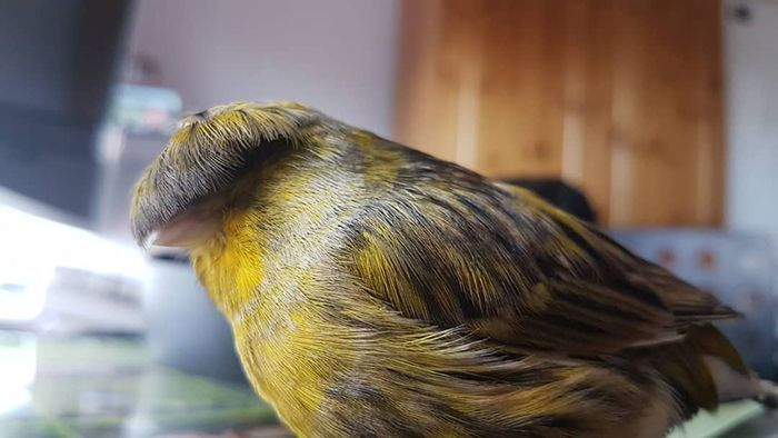 Meet Barry The Canary, The Bird With A Bowl Feathercut, Who Won Over The Internet's Hearts With His Looks