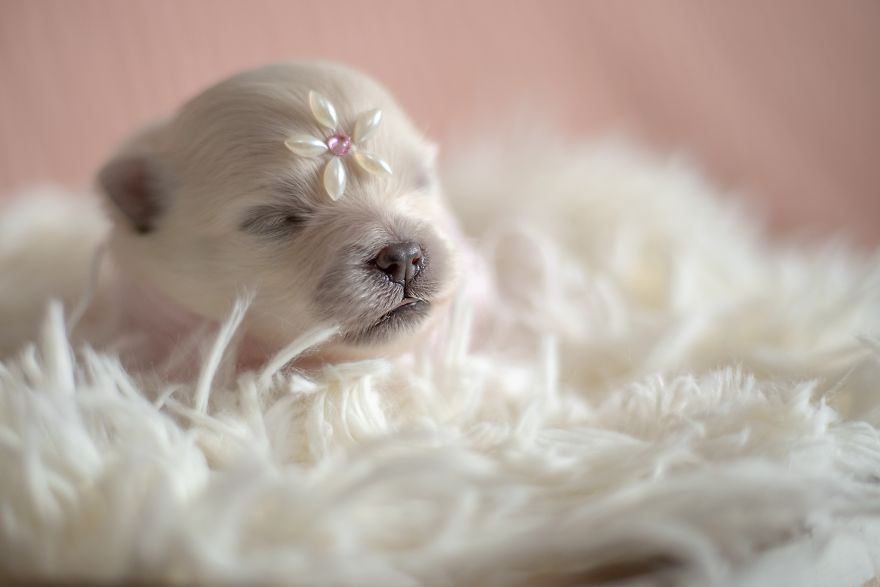 Brazilian Photographer Takes 'Newborn' Pictures Of Puppies And It's Adorable (25 Pics)