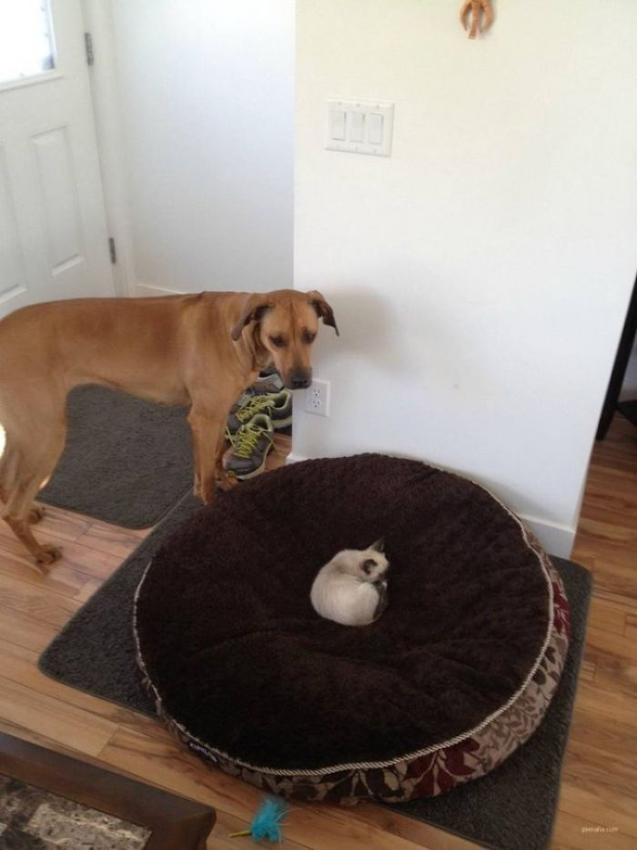 40 Jerk Cats Who Reigned Over Dogs And Stole Their Beds