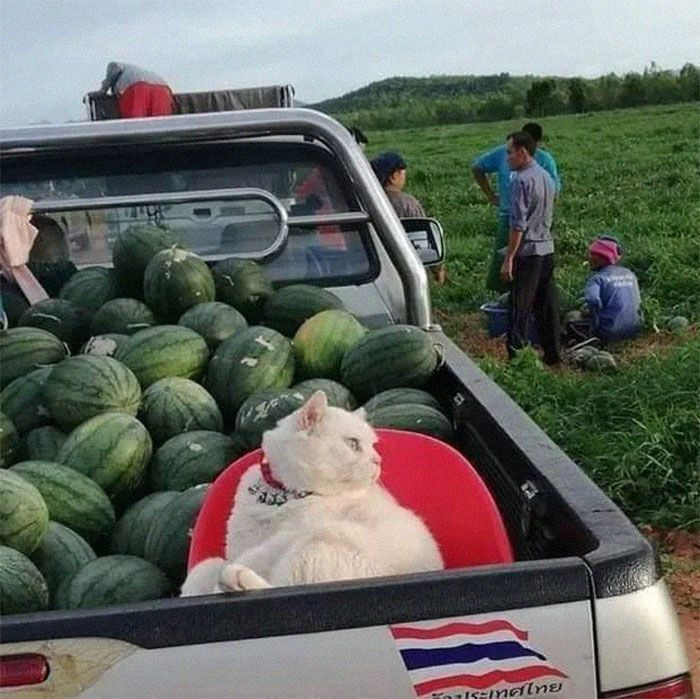 Angry-Looking Cat Supervises Watermelons In Thailand And Is Loved By The Community