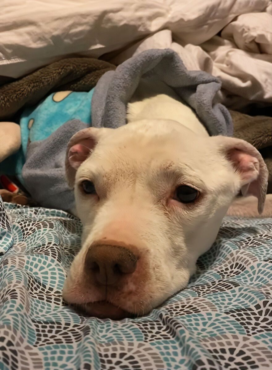 This Underweight Pit Bull Was Found In An Abandoned Apartment, But Her Fortune Has Turned, And Now She's Safe