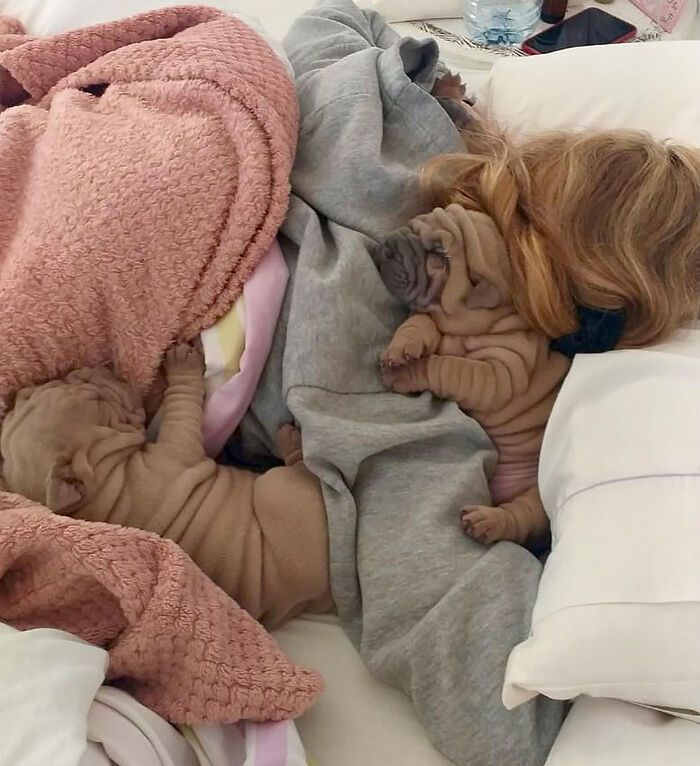 This Shar Pei Is Tricking People On The Internet Into Thinking He's A Scrunched-Up Blanket (53 Pics)