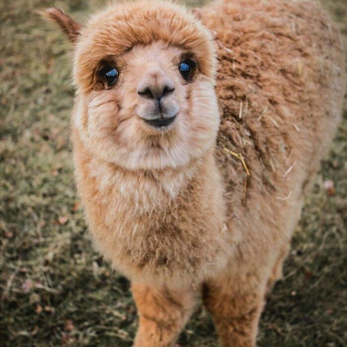 202 Times People Captured Alpacas Being Adorable